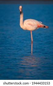 bird photography of beautiful pink flamingo looking at camera in Puglia salt pans
