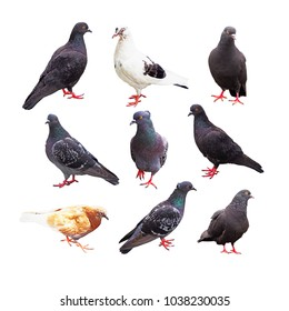 Bird pigeon poses. Collection of doves isolated on white background