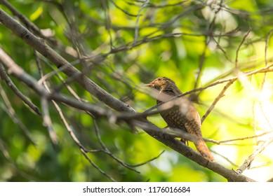 Bird Plaintive Cuckoo Cacomantis Merulinus Black Yellow Brown And Orange Color