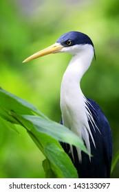 Bird portrait of Blue Heron Egret sitting in branch of tree