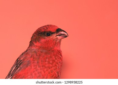 bird portrait, pine grosbeak closeup on a living coral background, color of the year 2019