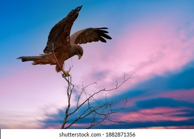 Bird of prey against pink and blue evening sky. Black Kite, Milvus migrans, perched on top of branch with outstretched wings. On safari in Kgalagadi, South Africa.