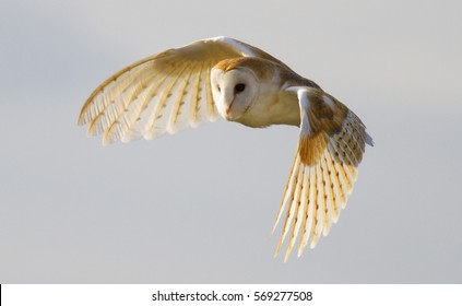 Bird of Prey - Barn Owl in flight with beautiful colours on the feathers