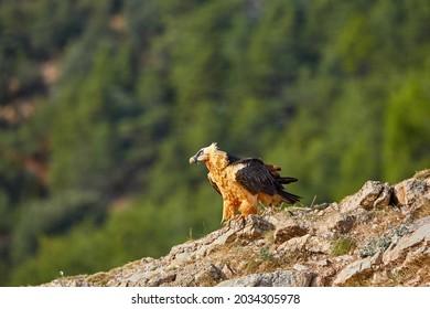 Bird of prey, Bearded vulture, Gypaetus barbatus or Lammergeier in full orange color plumage sitting on edge of the rock. Close up, side view. Wild bird, Spanish Pyrenees, Spain