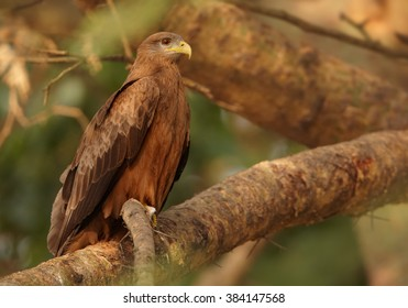 Bird of prey, Black Kite, Milvus migrans perched on branch in evening light  in forest of Murchison Falls national park, Uganda.