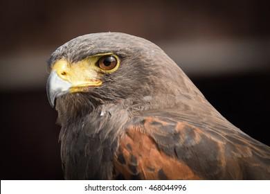 Bird of prey: Brown eagle close up