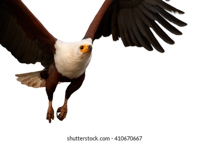 Bird of prey in in close range, African fish eagle, Haliaeetus vocifer flying directly at camera with outstretched wings, isolated on white background. KwaZulu Natal, South Africa.