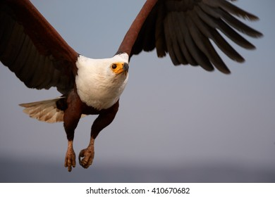 Bird of prey in in close range, African fish eagle, Haliaeetus vocifer flying directly at camera with outstretched wings in evening light against abstract background. KwaZulu Natal, South Africa.