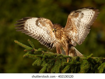 Bird of prey, Common Buzzard, Buteo buteo, landing on the spruce branch with outstretched wings, against dark green, blurred background. Wildlife photo, winter, Czech republic.
