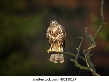 Bird of prey, Common Buzzard, Buteo buteo, perched on branch with outstretched tail in front view against dark green, blurred background. Wildlife photo, Czech republic.