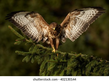 Bird of prey, Common Buzzard, Buteo buteo, landing on the spruce branch with outstretched wings against dark green, blurred background. Wildlife photo, front view, winter, Czech republic.