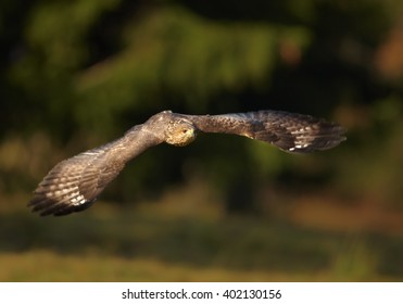 Bird of prey, Common Buzzard, Buteo buteo, flying against dark green, blurred background. Wildlife photo, Czech republic.