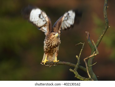 Bird of prey, Common Buzzard, Buteo buteo, perched on branch with outstretched wings in front view against dark blurred background. Wildlife photo, Czech republic.