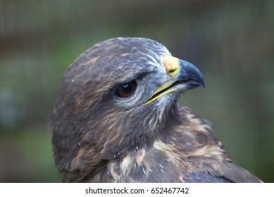 Bird of prey, Common buzzard, Buteo Buteo. Head of small falcon
