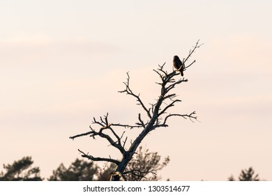 Bird of prey, Common Buzzard, looking from it´s view point in a  dried tree top at the island Oland in Sweden