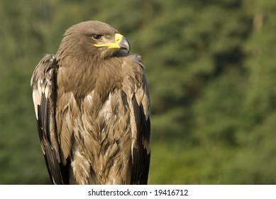 Bird of prey - eagle (family Accipitridae).