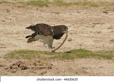 Bird of prey eating a snake