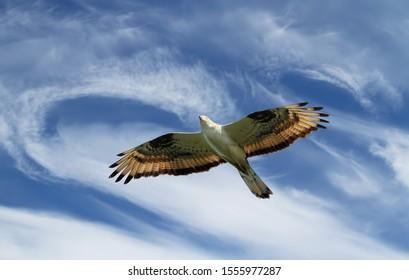 Bird of prey European honey buzzard light brown soars against the background of cirrus clouds, closeup.