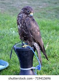 Bird of Prey Falcon Hawk
