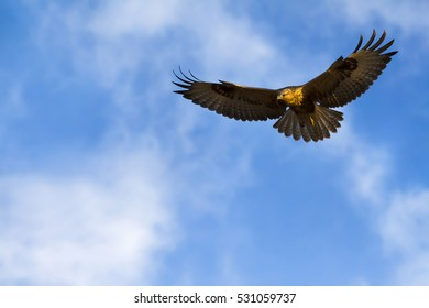 bird of prey bird flying on blue sky background