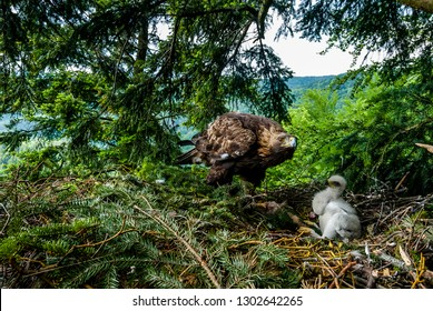 Bird of prey Golden Eagle female taking care about two weeks old chick on the nest in dense pine forest, northern Slovakia