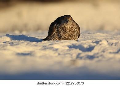 Bird of prey, Goshawk, Accipiter gentilis in snow. Angry goshawk.