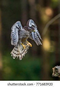 Bird of prey Goshawk, Accipiter gentilis, hunting i a green forest. Neutral dark background,