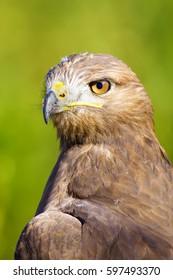 Bird of prey. Green nature background Long legged Buzzard / Buteo rufinus