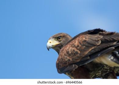 Bird of prey. Haris's hawk (Parabuteo unicinctus) falcon in close up with copy space.