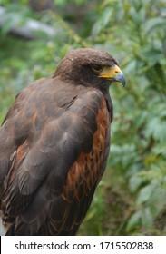 Bird of Prey - Harris's Hawk looking for prey