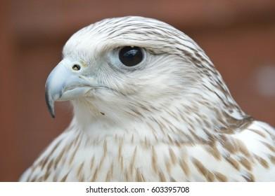 Bird of prey head shot
