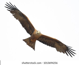 a bird of prey, a kite illuminated by the sun, flies, widely spread by its powerful wings, at an angle to the horizon, is isolated