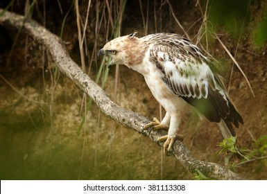 Bird of prey, light form of Changeable Hawk-eagle, Spizaetus cirrhatus ceylanensis  perched on root in creek bed near to kingfishers nest to prey on it. Close up photo of medium-large asian raptor.