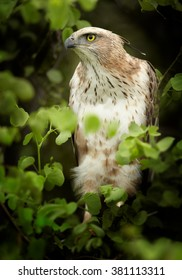Bird of prey, light form of Changeable Hawk-eagle, Spizaetus cirrhatus ceylanensis  perched among green leaves against dark green background. Close up vertical photo of medium-large asian raptor.
