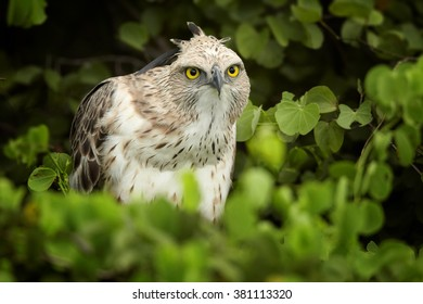 Bird of prey, light form of Changeable Hawk-eagle, Spizaetus cirrhatus ceylanensis  perched among green leaves against dark green background. Close up portrait of medium-large asian raptor.