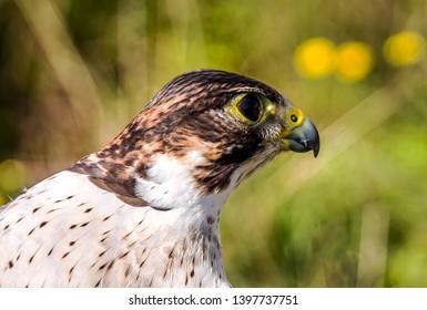 Bird of prey Maltese falcon close-up