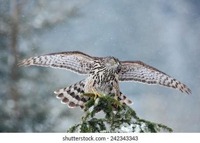 Bird of prey Northern  Goshawk landing on spruce tree during winter with snow