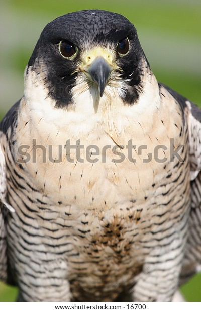Bird of prey pictured from the front to show a facial portrait shot