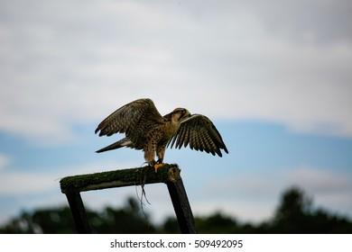 A bird of prey in a show