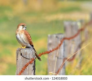 Bird of prey sitting on farm fence.