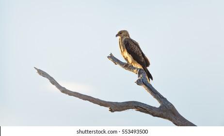 Bird of prey sitting in a tree