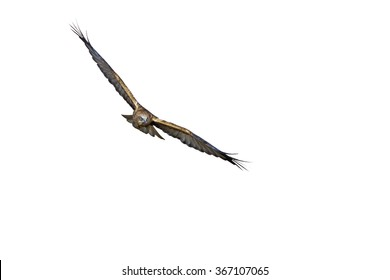 Bird of prey. White background. Bird: Western Marsh Harrier. Circus aeruginosus.