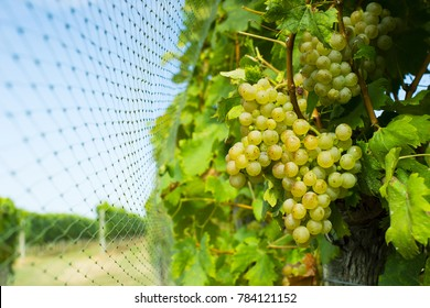 bird protection net on wine grapes at winery
