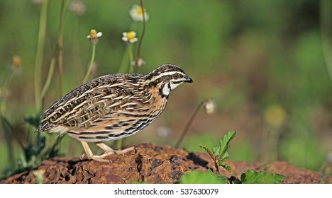 Bird, Rain Quail (Cotumix coromandelica) on a rock,Beautiful bird