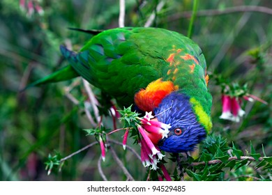 Bird, Rainbow lorikeet, feeding on heath fuschia flowers in native bushland