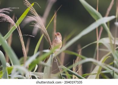 Bird Reed warbler, reed warbler (Acrocephalus arundinaceus) in reeds, loud singing, singing bird on a reed stem, loud vocalist, famous soloist