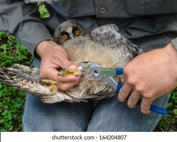 Bird ringing of owlet