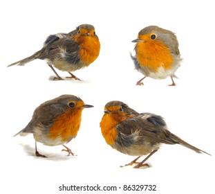 bird robin isolated on white background