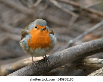 bird Robin sitting among the branches in the autumn forest