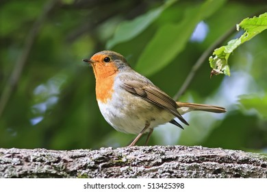 the bird is a Robin sitting in the Park among the green foliage